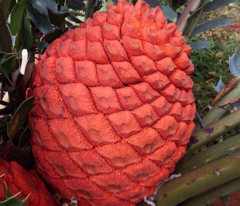 cycad cones3 082
